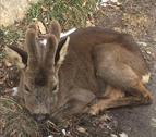 Cabirol ferit rescatat pels Banders