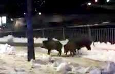 La nevada va provocar que els senglars baixessin a la capital