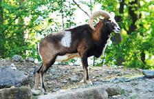 L'antecessor d'ovelles domèstiques: el mufló