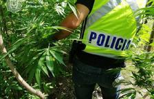 Pena d'un any de presó per cultivar marihuana a l'hort
