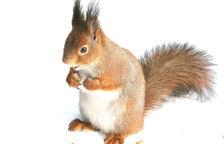 El missatger del bosc: esquirol vermell