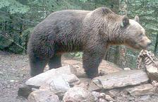 Cap indici d'ós bru a Andorra l'any passat