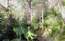 Llops i menairons al bosc de l'Esquella