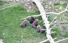 Les quatre cries d'os bru nascudes al parc d'animals de Naturlandia.