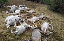 Moren 14 ovelles per l'atac d'un gos a Canillo