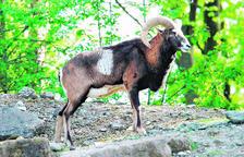 El caçador va abatre i decapitar un mufló.