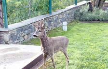 Un cabirol es cola al jardí de la casa de Jordi Cinca