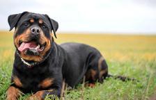 Un gos considerat de raça perillosa.