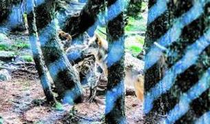 Els llops de Naturlandia.