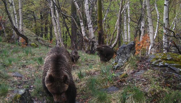 La nova cadellada d'óssos bruns nascuts aquesta primavera
