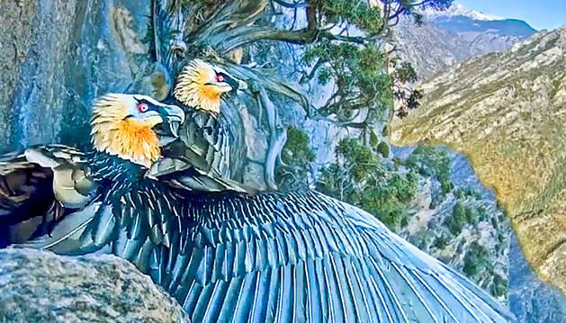 Projecte de conservació de l'au carronyaire.