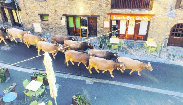 Unes vaques a l'Instagram @Ordinoesviu passejant pel centre de la parròquia han tingut molt èxit.