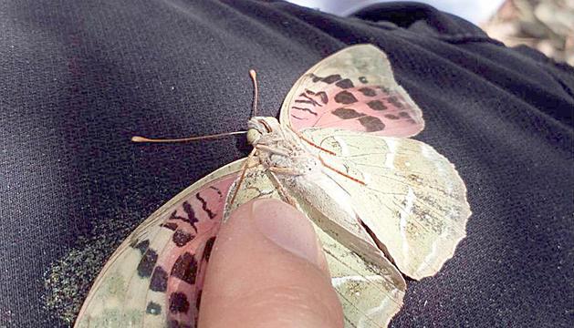Localitzen una espècie de papallona nova al país