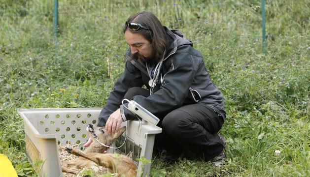 El director d'Agricultura, Landry Riba, amb un dels cabirols que ha estat sedat per poder ser alliberat.