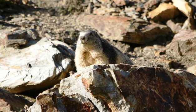La marmota és el rosegador terrestre més gran d'Europa.
