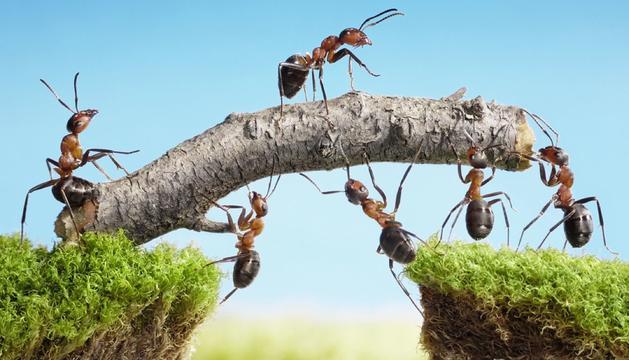 Les formigues viuen sense lluitar entre elles.