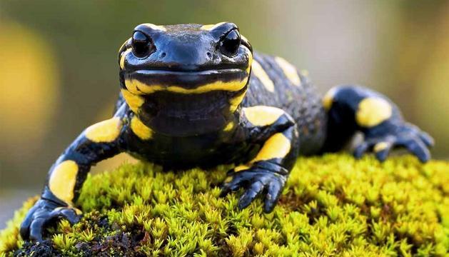 Una salamandra.