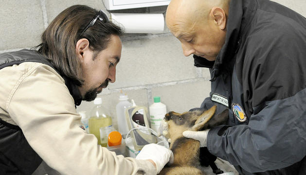 L'isard rep les atencions dels veterinaris.