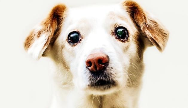 Glaucoma en gossos