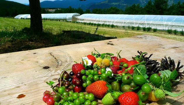 CASA gendret cultiva fruits del bosc i vermells en un indret a 1.600 metres d'altitud de la Margineda.