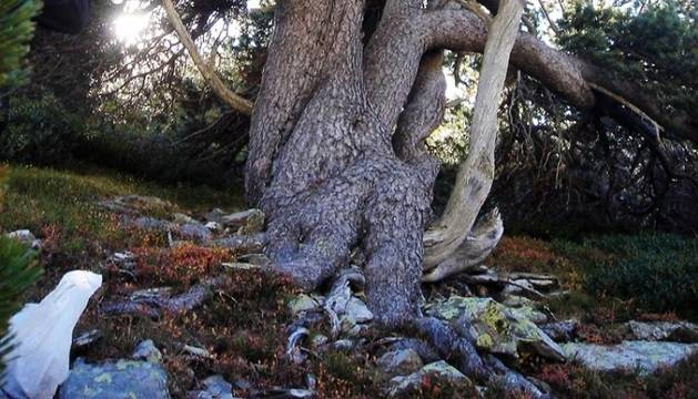 Un dels arbres centenaris del parc natural.