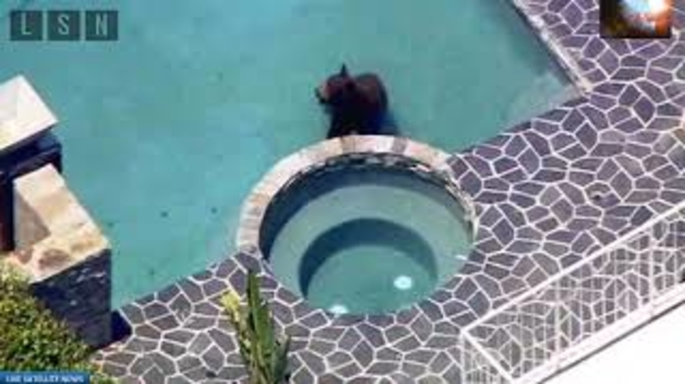 Un ós a la piscina