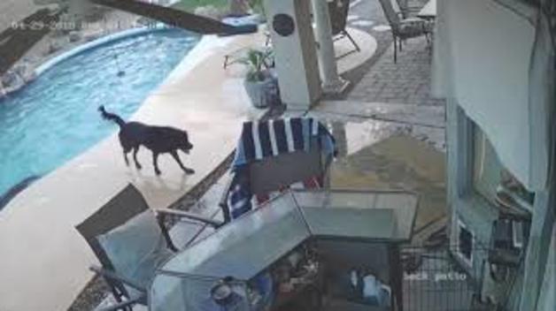 Un gos evita que una altre s'ofegui a la piscina