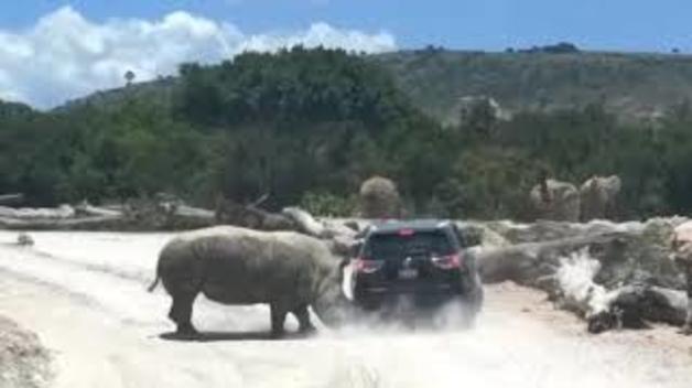 Un rinoceront ataca un cotxe en un parc safari a Mèxic