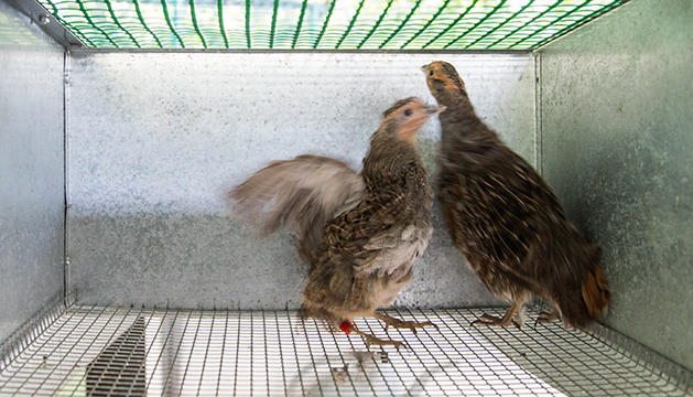El centre de reproducció de Llumeneres salvaguarda actualment 68 adults, 23 cries i 200 ous