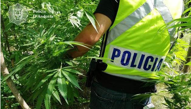 Les plantes de marihuana tenien una alçada de gairebé 3 metres