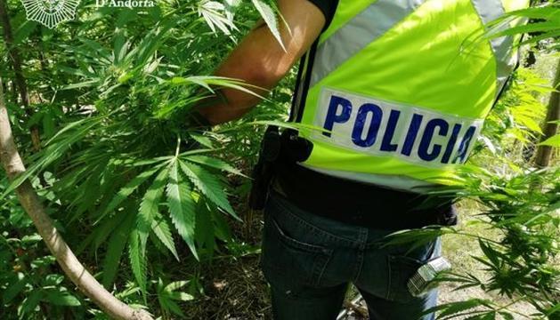Un agent de policia, a la plantació de marihuana desmantellada.
