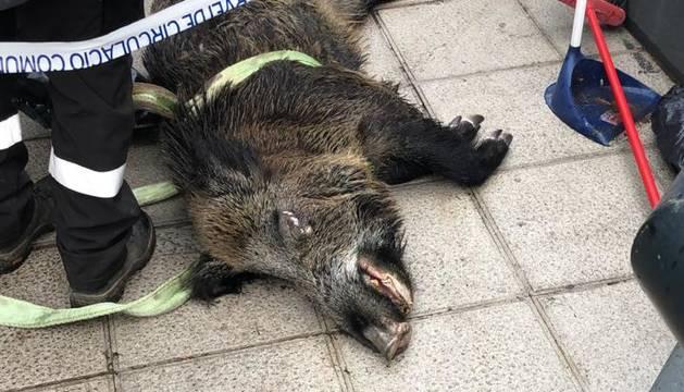 El porc senglar trobat al riu a Escaldes