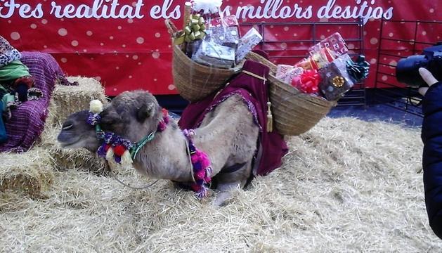 Un dels dromedaris que es troben al Poblet de Nadal.