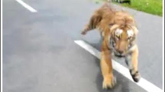 El salt del tigre