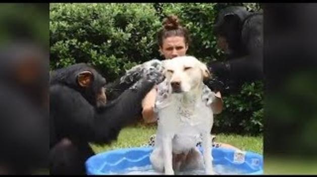 Un rentat amb ximpanzés