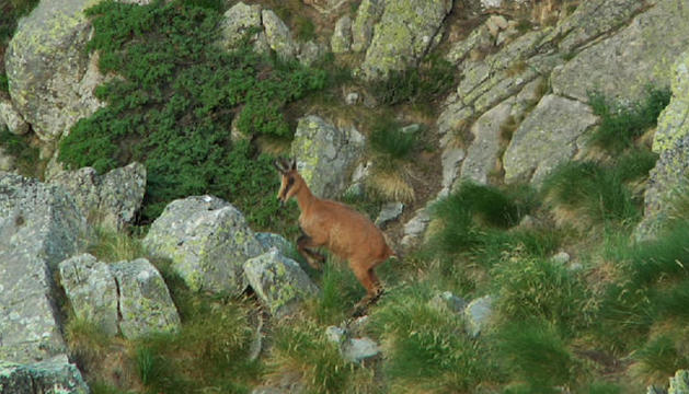 Un isard en una muntanya d'Andorra.