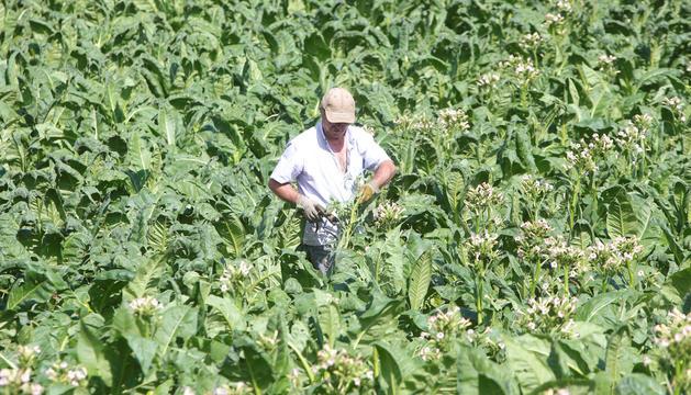 Un pagès en un camp de tabac de l'Aldosa.