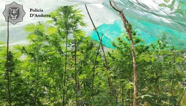 La policia va decomissar 16 plantes de marihuana de grans dimensions en un hort de Santa Coloma