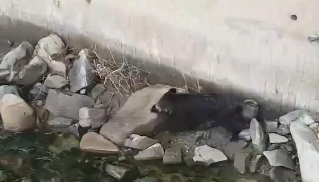 El porc senglar s'ha desplaçat pel llit del riu