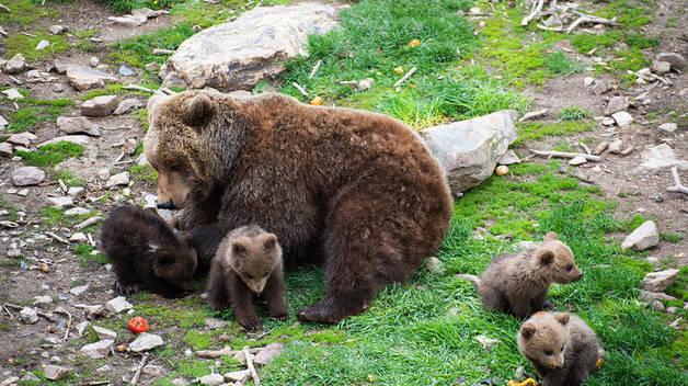 Les cries d'ós bru amb la seva mare, l'Enciam.
