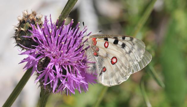 Una mostra de la flora a la vall del Sorteny
