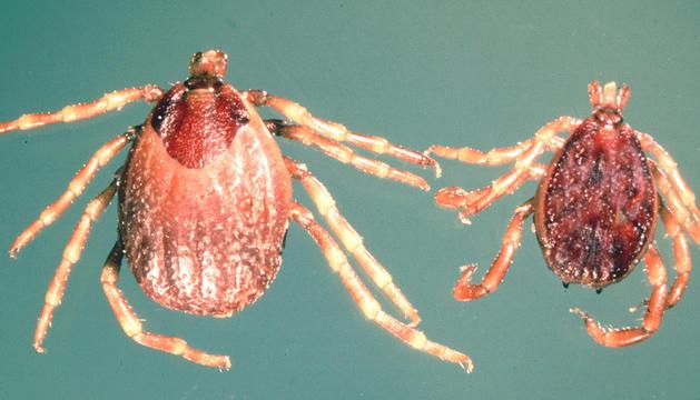S'ha detectat la presència de l''Hyalomma marginatum' i pot ser mortal pels animals.