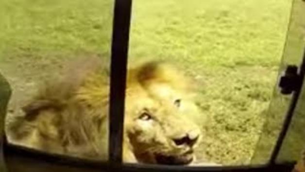 El rugit d'un lleó