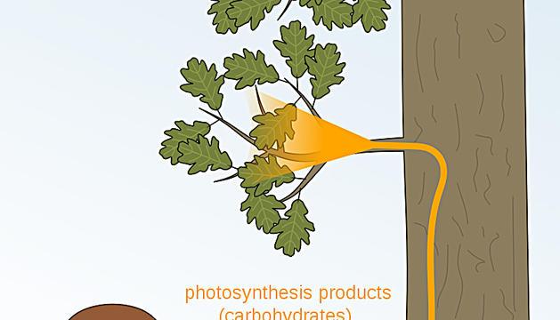Relacions d'ajuda entre fongs i plantes