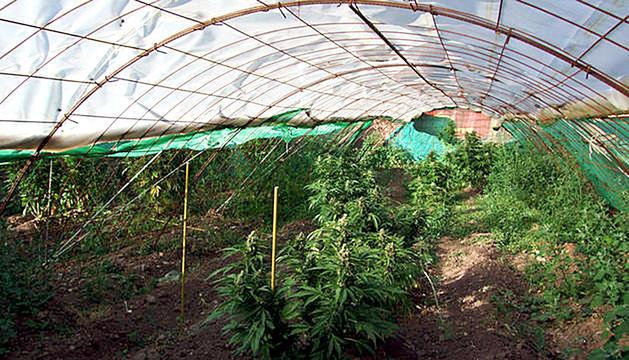 Una plantació de marihuana terapèutica en un hivernacle.