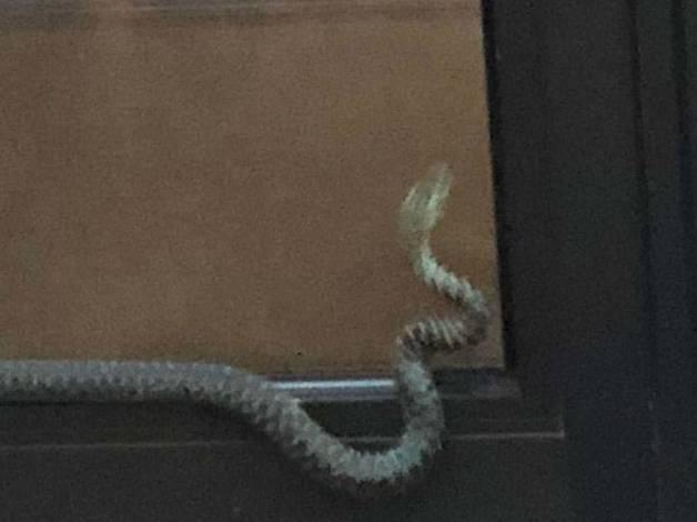 Una serp a Ciutat de Valls