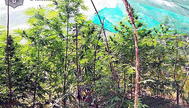 L a plantació de marihuana del jubilat a l'hort del rec del Solà.