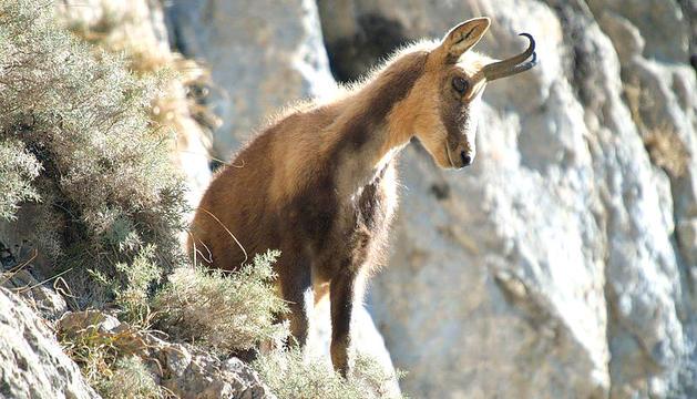 La Setmana de caça de l'isard se celebrarà del 13 al 20 de setembre.