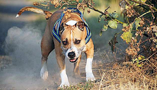 Tramitades 29 sancions a amos de gossos perillosos