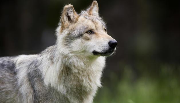 Un dels llops de Naturlandia